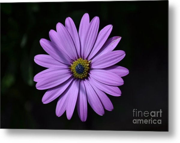 Metal Print featuring the photograph Purple African Daisy by Scott Lyons