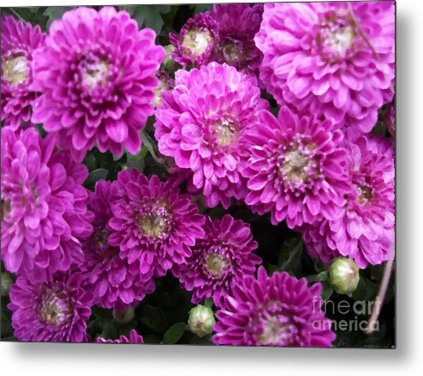 Purple Chrysanthemums Print Metal Print