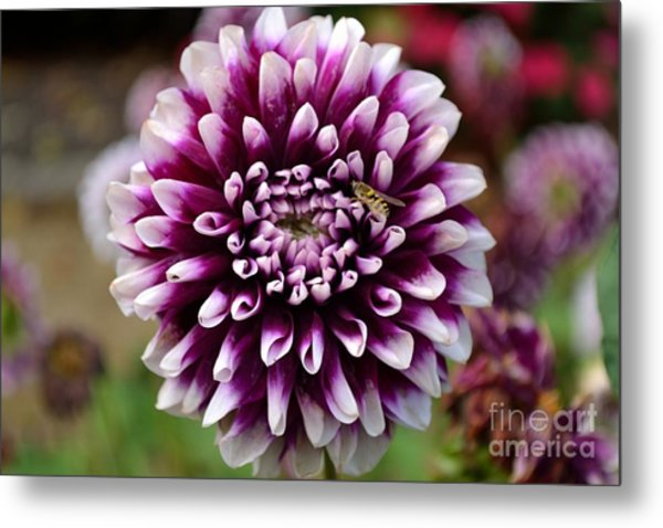 Purple Dahlia White Tips Metal Print