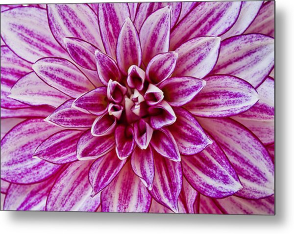 Purple Dahlia Metal Print
