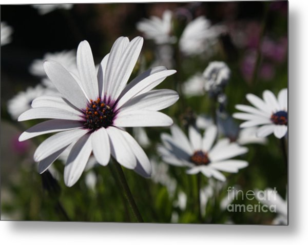 Purple Daisies 2 Metal Print