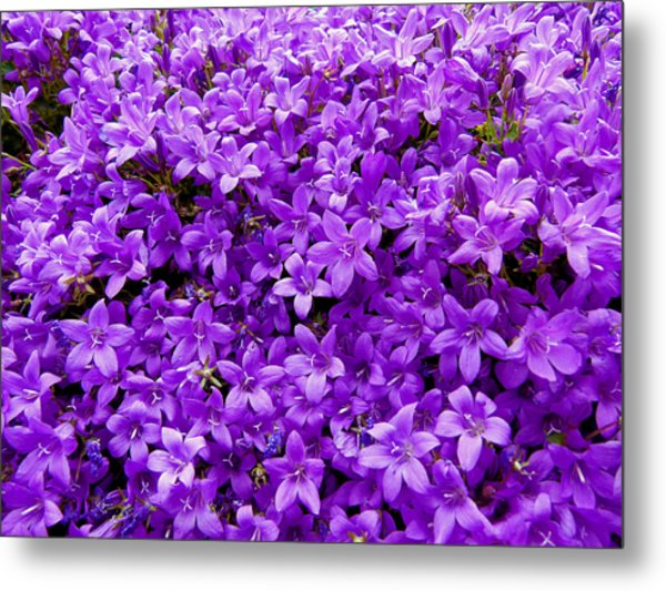 Purple Dalmatian Bellflower Metal Print by Vanessa Thomas