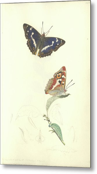 Purple Emperor Butterfly Metal Print by Natural History Museum, London/science Photo Library