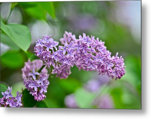 Purple Lilac Metal Print