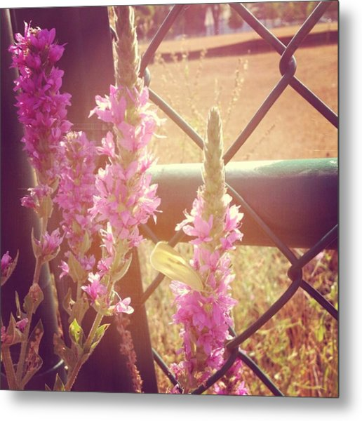 Purple Loosestrife Metal Print