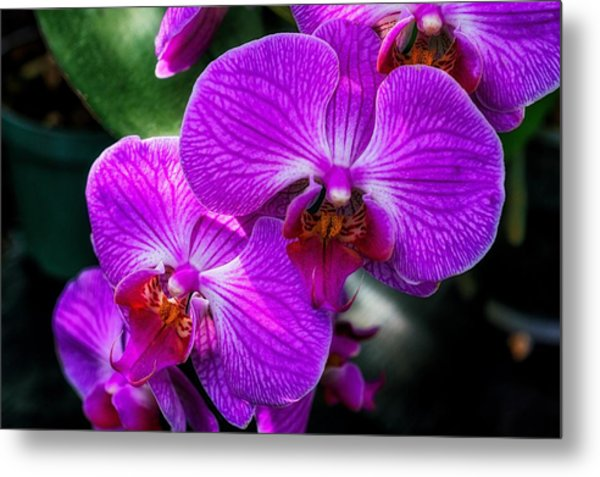 Purple Orchid Glow Metal Print