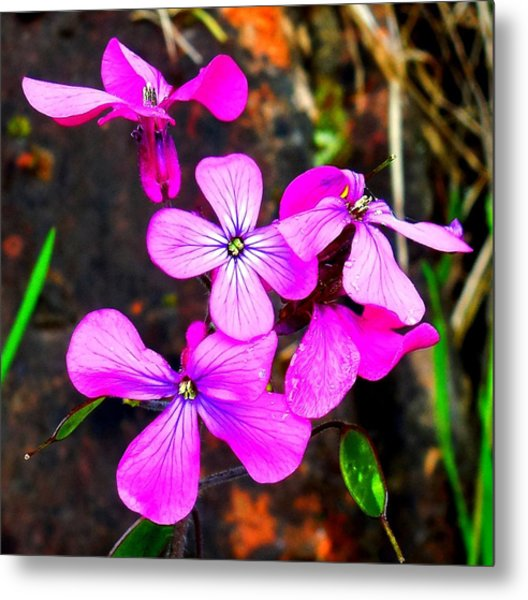 Purple Lunaria Metal Print
