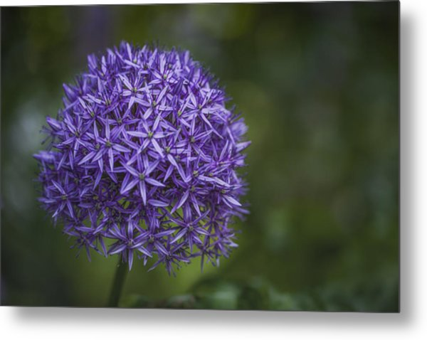 Purple Puff Metal Print