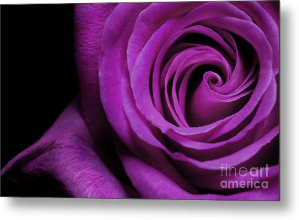 Purple Roses Closeup Metal Print