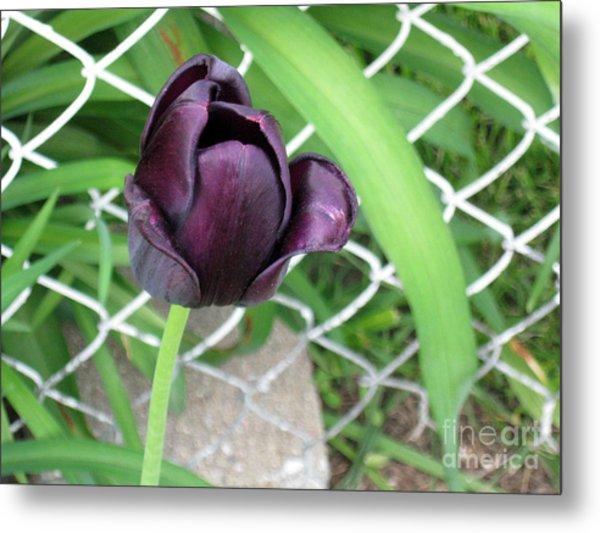 Purple Tulip Metal Print