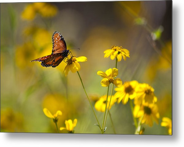 Queen Butterfly On Coreopsis  Metal Print by Mark Weaver