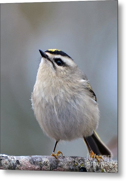 Queen Of The Kinglets Metal Print