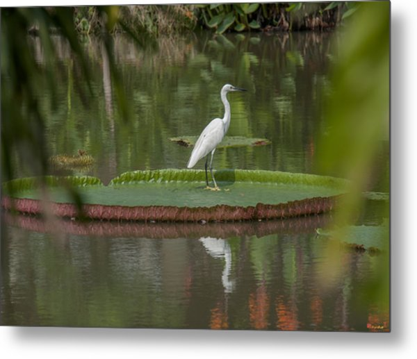 Queen Victoria Water Lily Pad With Little Egret Dthb1618 Metal Print