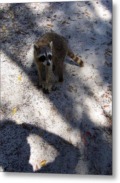 Raccoon 0311 Metal Print