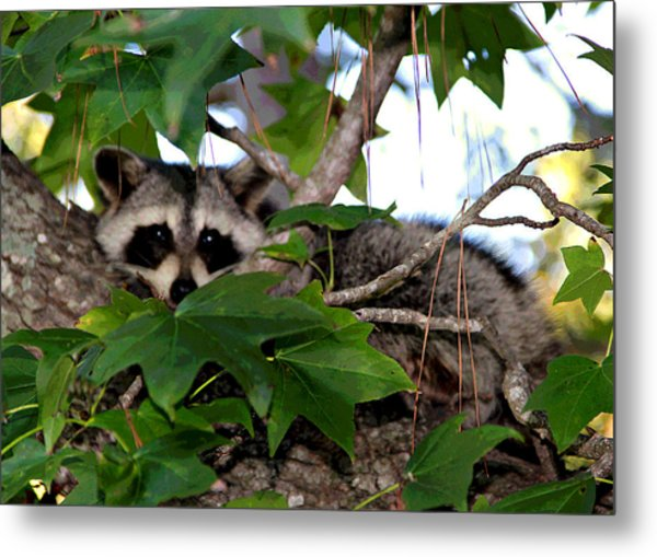 Raccoon Eyes Metal Print