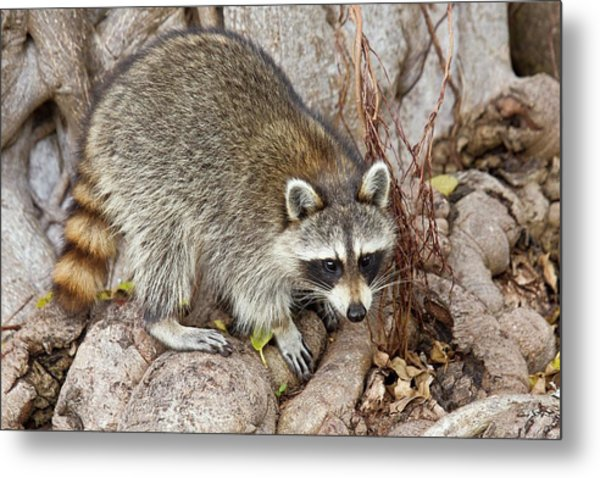 Raccoon Foraging For Food Metal Print by Bob Gibbons