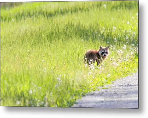 Raccoon In Green Field Metal Print by Jill Bell