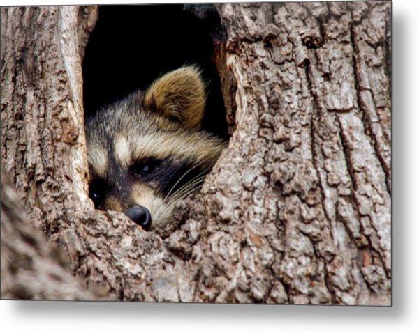 Raccoon In Tree Metal Print by Jill Bell