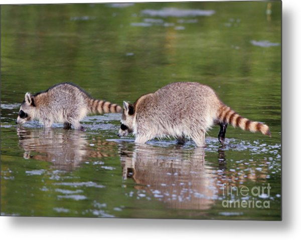 Raccoon Mother And Baby Metal Print