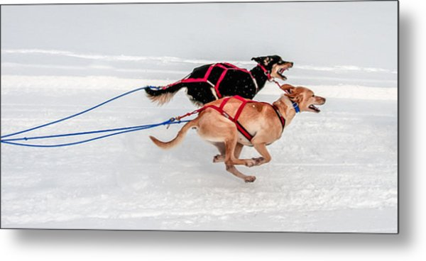 Racing Sled Dogs Metal Print
