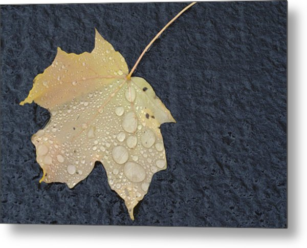 Rain Drops On A Yellow Maple Leaf Metal Print