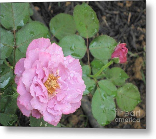 Rain Kissed Rose Metal Print