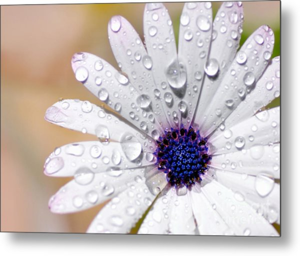 Rain Soaked Daisy Metal Print