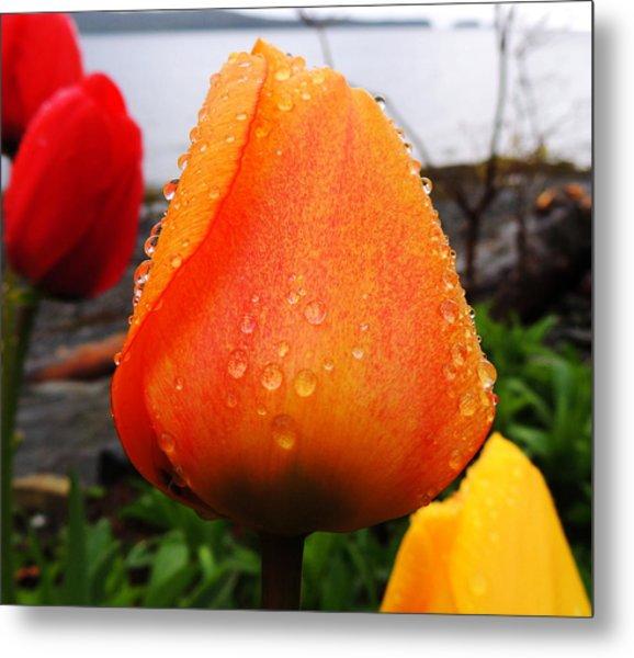 Raindrop Tulip Metal Print