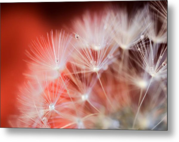 Raindrops On Dandelion Red Metal Print