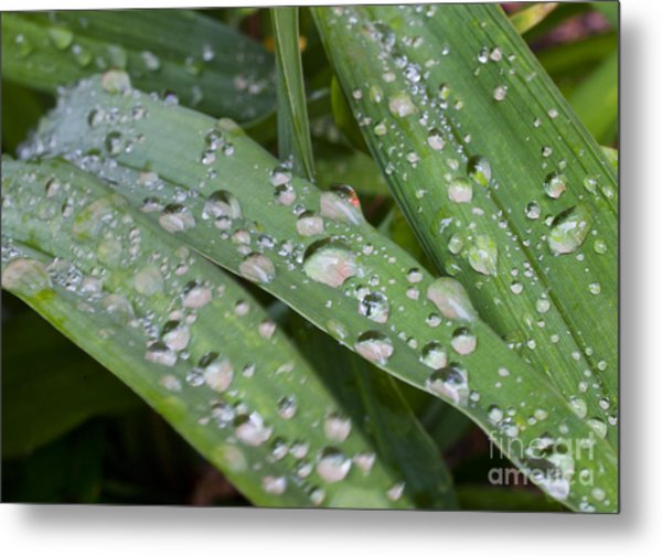 Raindrops On Daylily Leaves Metal Print by Jonathan Welch