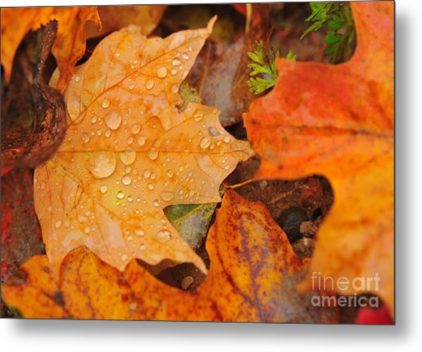 Raindrops On Fallen Maple Leaf Metal Print
