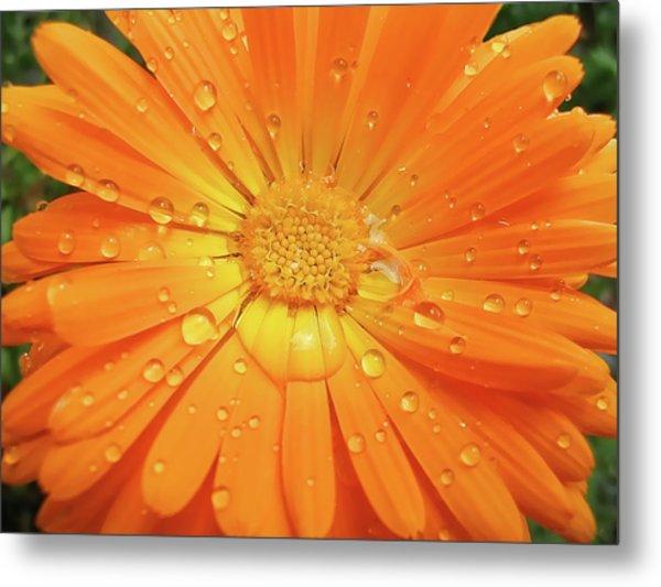Raindrops On Orange Daisy Flower Metal Print