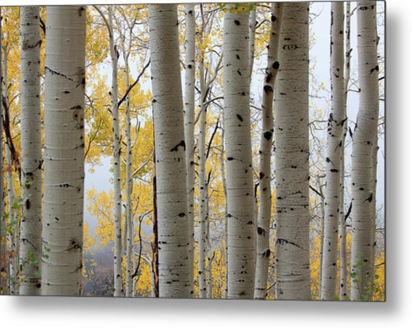Rainy Day Aspen  Metal Print