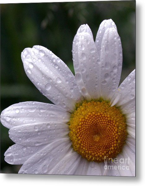 Rainy Day Daisy Metal Print