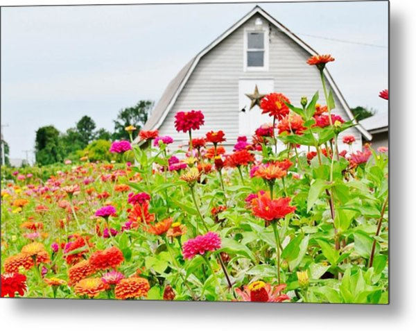 Raising Zinnia Flowers - Delaware Metal Print