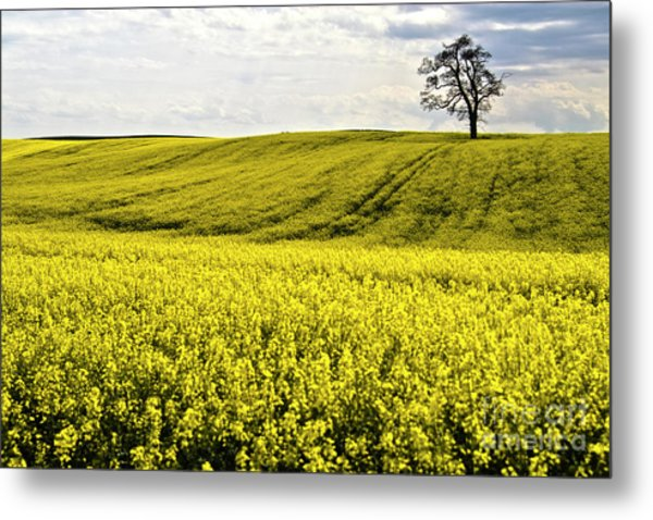 Rape Landscape With Lonely Tree Metal Print