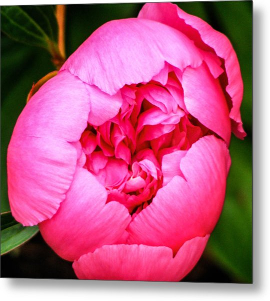 Ready To Bloom  Metal Print