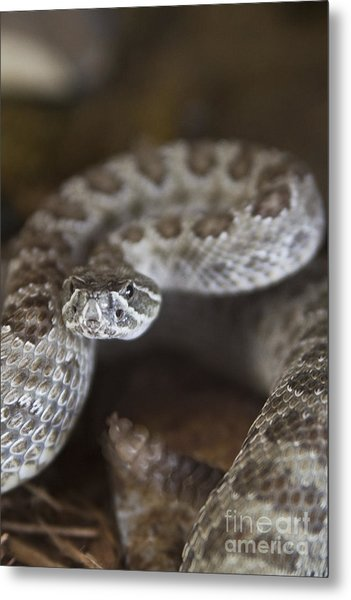 A Rattlesnake Thats Ready To Strike Metal Print