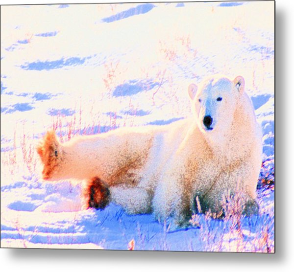 Reclining Polar Bear Metal Print