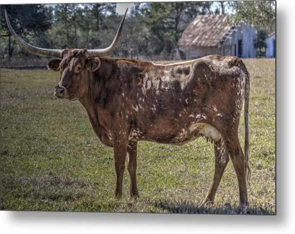 Red 507 Longhorn Metal Print