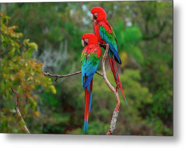 Red-and-green Macaws, Ara Chloroptera Metal Print by Mint Images/ Art Wolfe