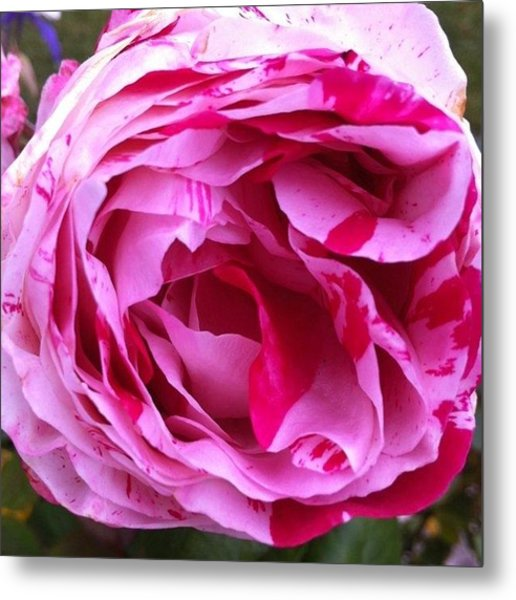 Red And Pink Rose Metal Print