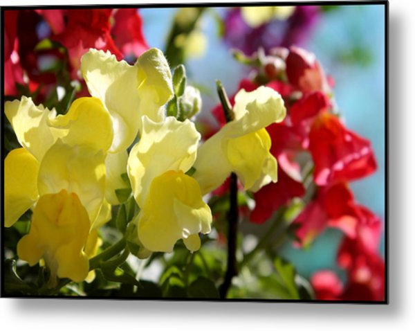 Red And Yellow Snapdragons II Metal Print by Aya Murrells
