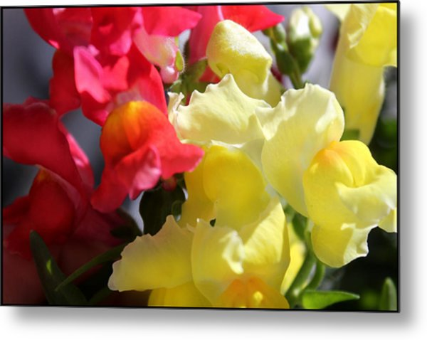 Red And Yellow Snapdragons IIi Metal Print by Aya Murrells