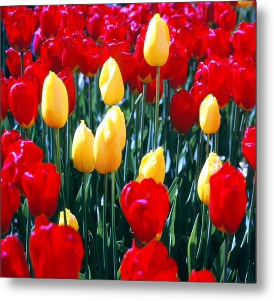 Red And Yellow Tulips - Square Metal Print
