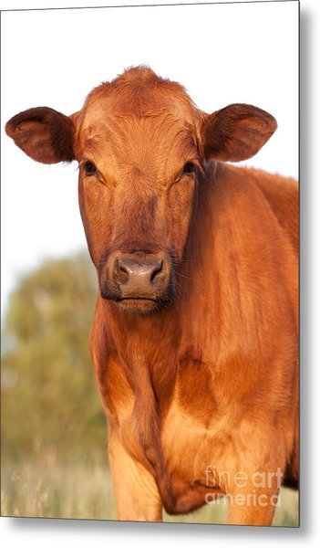 Red Angus Cow Metal Print