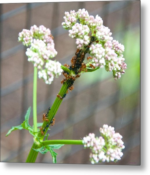 Red Ants And Valerian Officinalis Metal Print