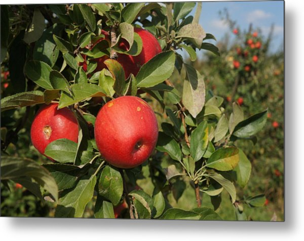 Red Apple Growing On Tree Metal Print