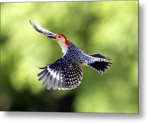 Red-bellied Woodpecker Flight Metal Print by David Lester