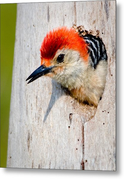 Red-bellied Woodpecker II Metal Print